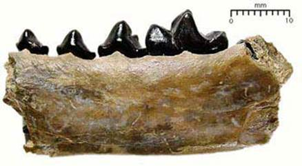 These Fossilized teeth Condylarthra are not so similar to a teeth of an animal which eats only a grass :-)
